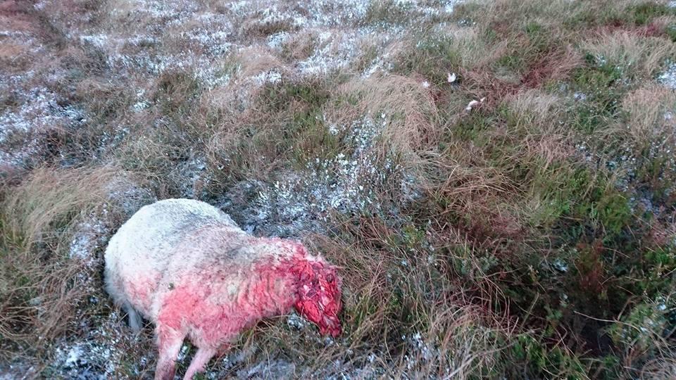 sheep attack 1