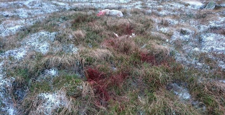 Graphic content: Sheep mauled and killed in the southeast