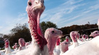 Bird flu case confirmed in a commercial turkey flock in the UK