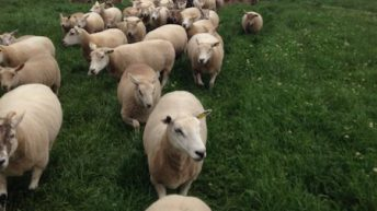 €25m Sheep Welfare Scheme receives 21,400 applications
