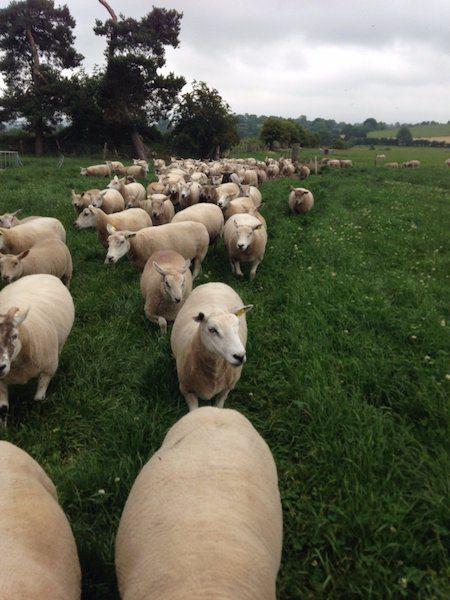 €25m Sheep Welfare Scheme receives 21,400 applications