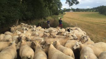 'Highly prolific flock' of 200 ewes to be sold in dispersal sale