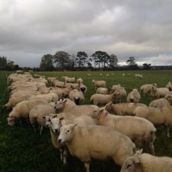 Highly prolific flock' of 200 ewes to be sold in dispersal