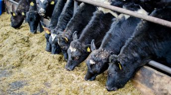 ROI farmers get less for their heifers than NI counterparts