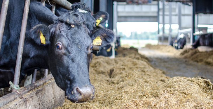 Mounting interest in once-a-day milking as peak-pressure period draws closer