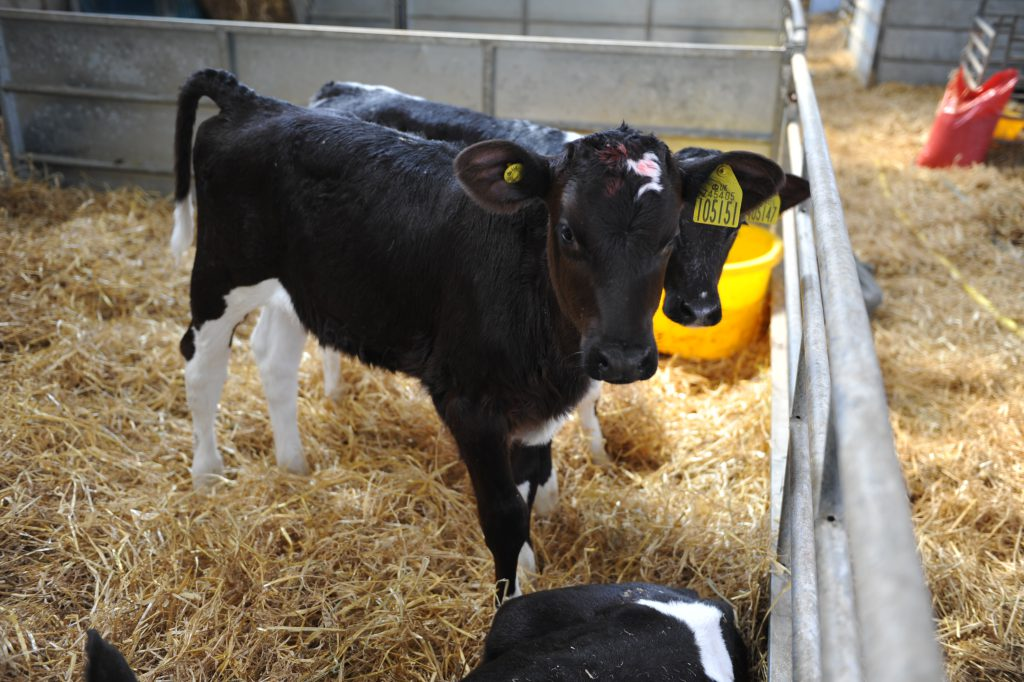 Calf care event in Portlaoise to cover nutrition, health and