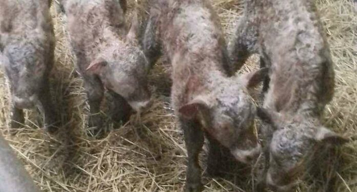 Farmer left dumbfounded after birth of quadruplet heifer calves