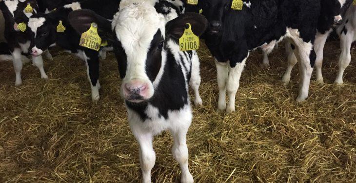 Video: Nearly 300 Holstein Friesian bull calves depart for Spain