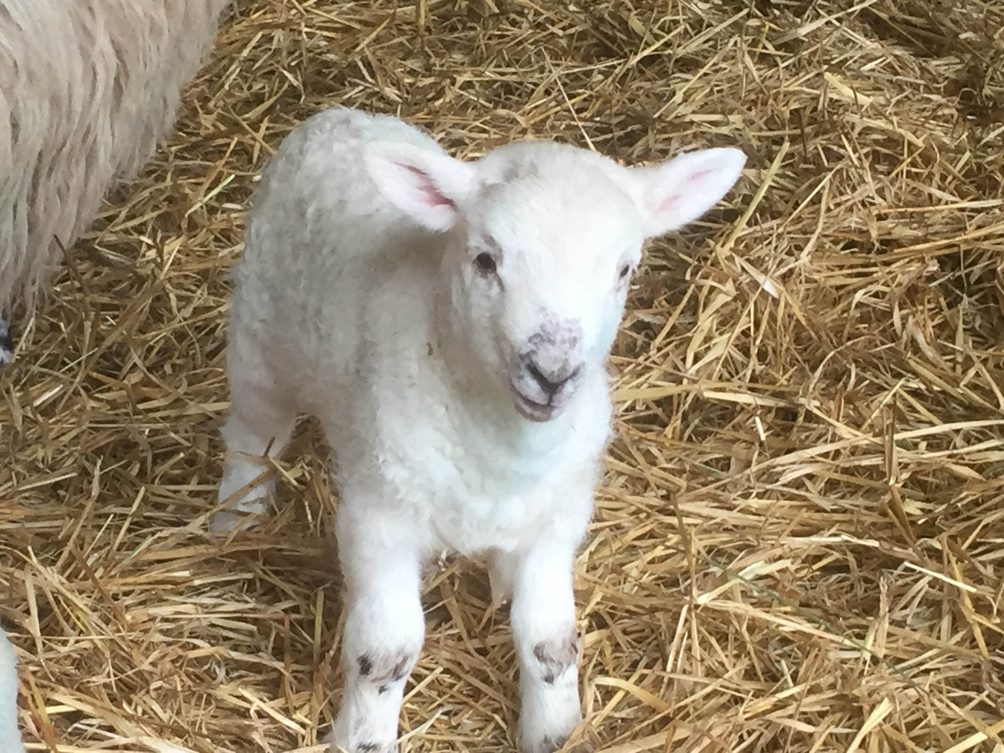 research reveals surplus lamb rearing practices agriland