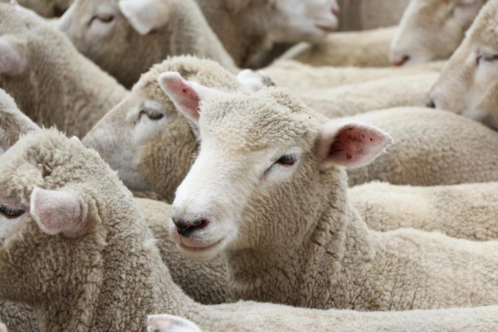 Learning lessons from Australia's sheep industry - Agriland ie