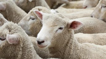 Learning lessons from Australia's sheep industry