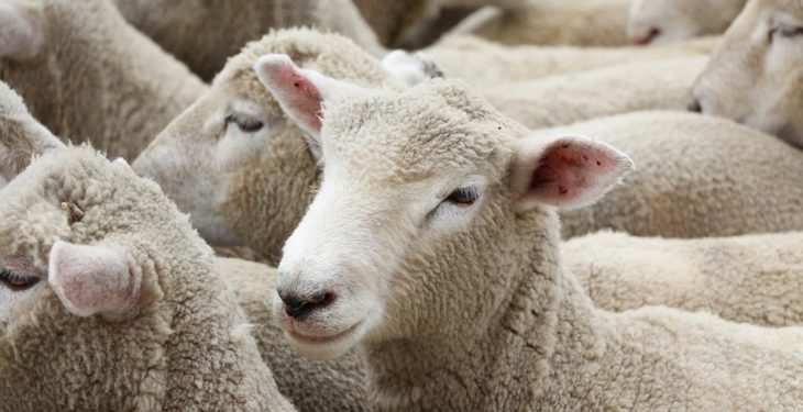 Are New Zealand sheep genetics the way forward?