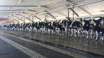 Pics: Milking 22,500 cows in the Saudi Arabian desert