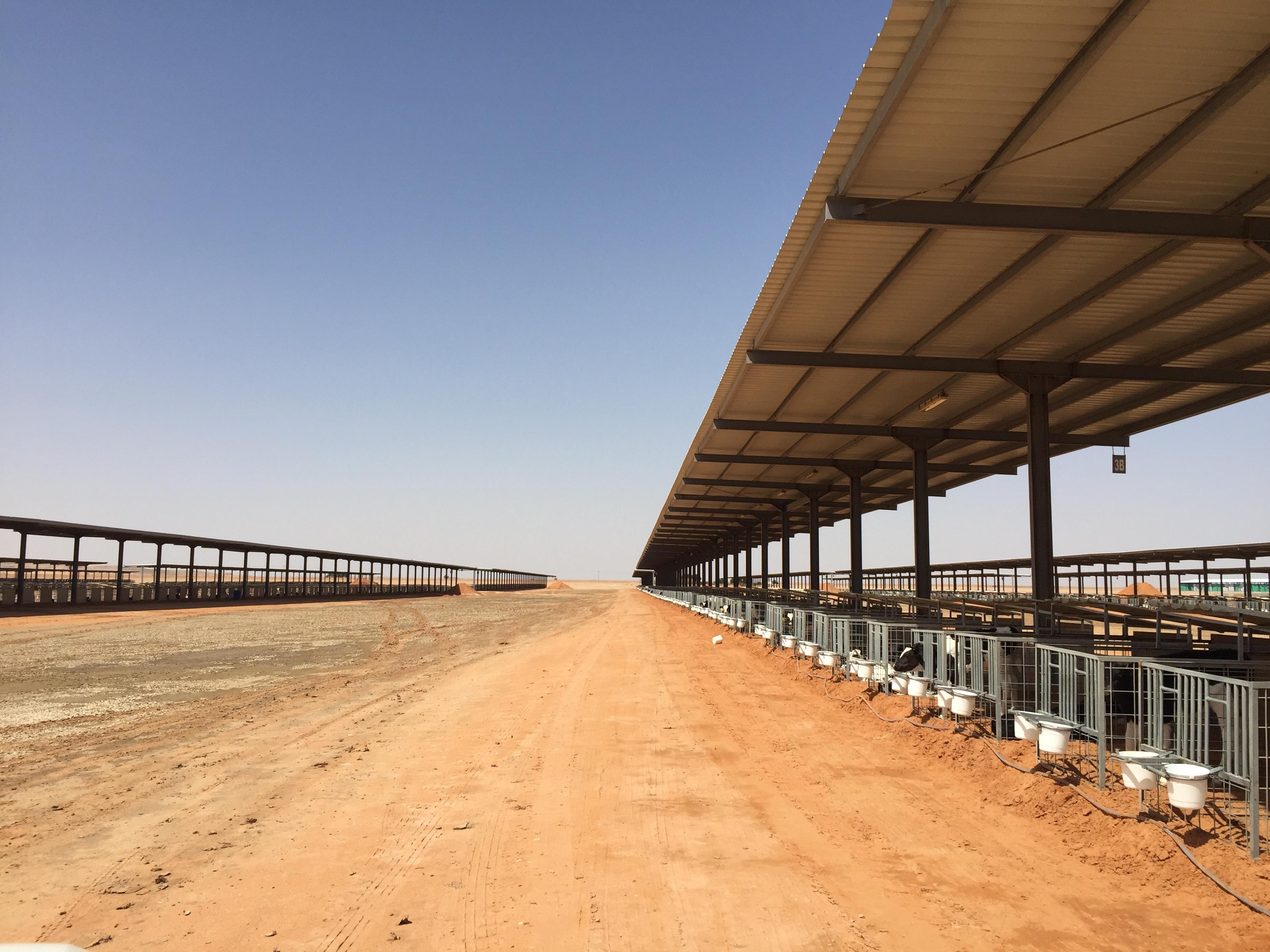 Pics: Milking 22,500 cows in the Saudi Arabian desert - Agriland ie