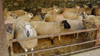 4 steps to getting the late-pregnancy nutrition of your ewes right