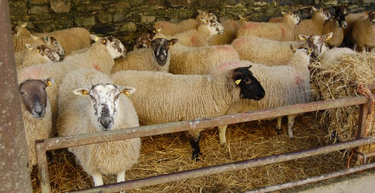 Dog that killed over 50 sheep in Wexford shot dead