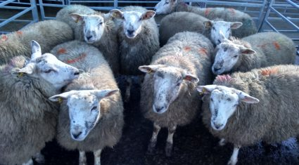 Ireland only 'scratching the surface' on live sheep export potential