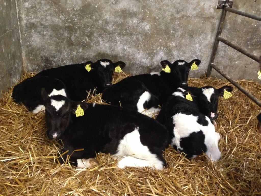 Agriland Calves