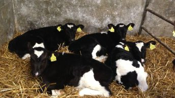 Calf trade: Numbers steady with a slight increase in prices