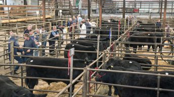 Angus on the up: Munster show and sale on next week