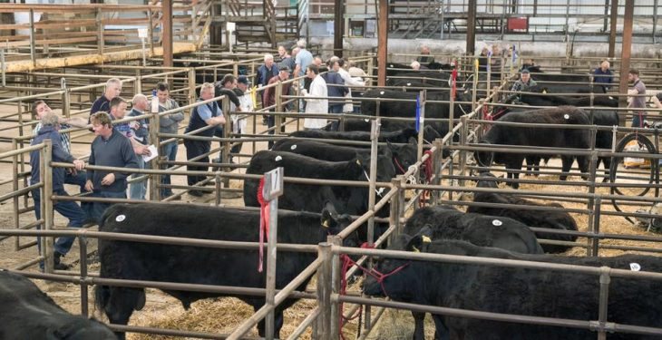 42 Angus bulls to be sold in the heart of dairy country