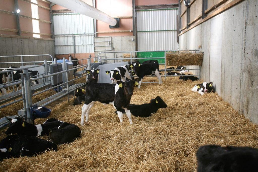Calves 1