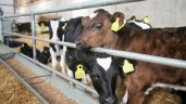 Department plans dairy beef genotyping programme