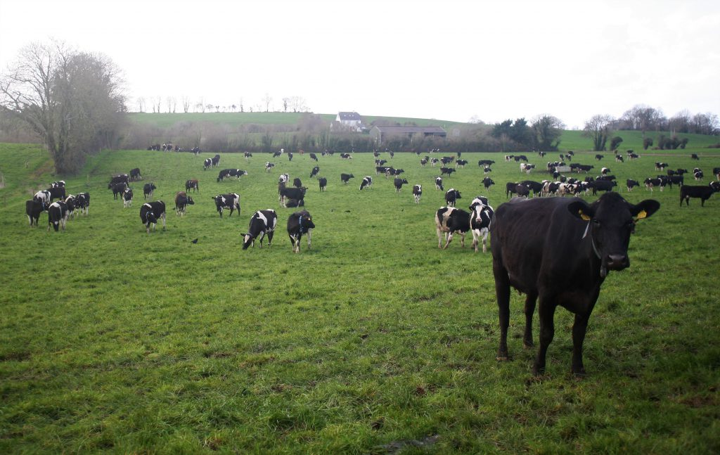 Dairy Cows 1