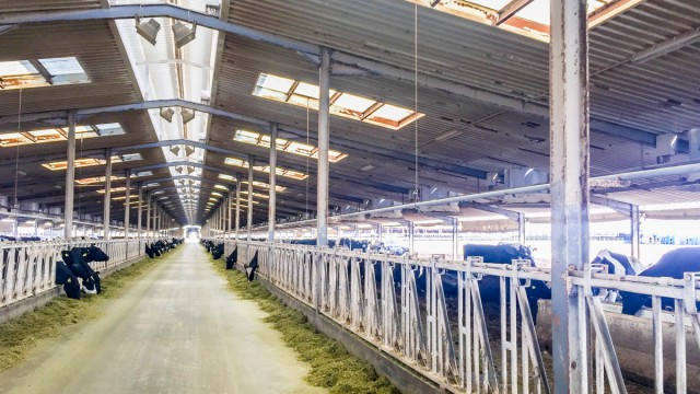 Video: The dairy farm in the desert producing 11 litres of milk every second