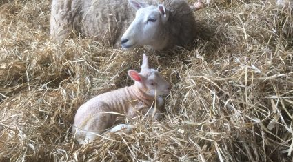 5 steps to improve lambing success on your farm