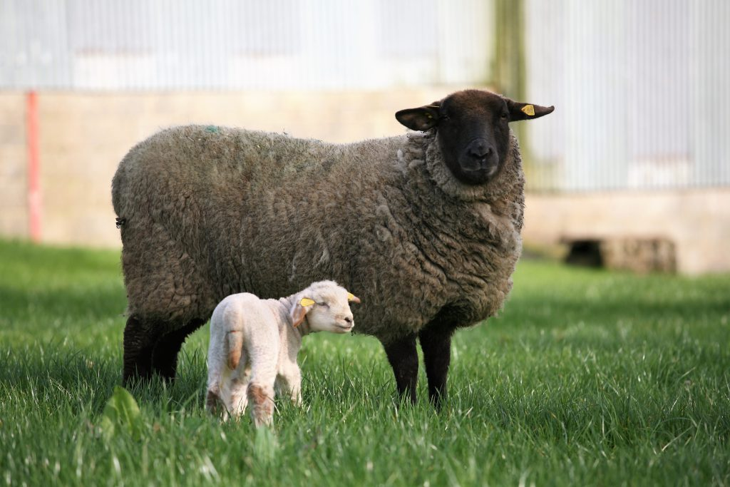 March 15 Born Lamb