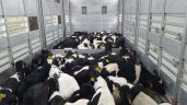 Department monitoring potential threat to calf exports in 2018
