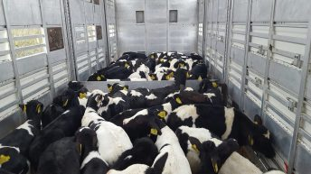 Calf exports reach highest level in 3 years