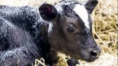 Farmers must 'continue strong focus on calf welfare' during calving