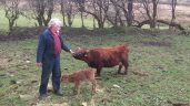 Video: Farmer's joy as world's smallest cow gives birth in Co. Sligo