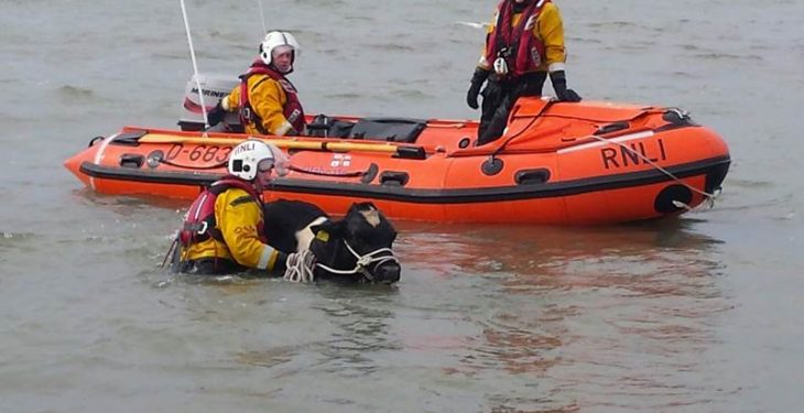Video: Cattle rescued from the sea after 15m cliff fall