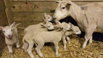 6 sets of quintuplet lambs born on one lucky Offaly farm