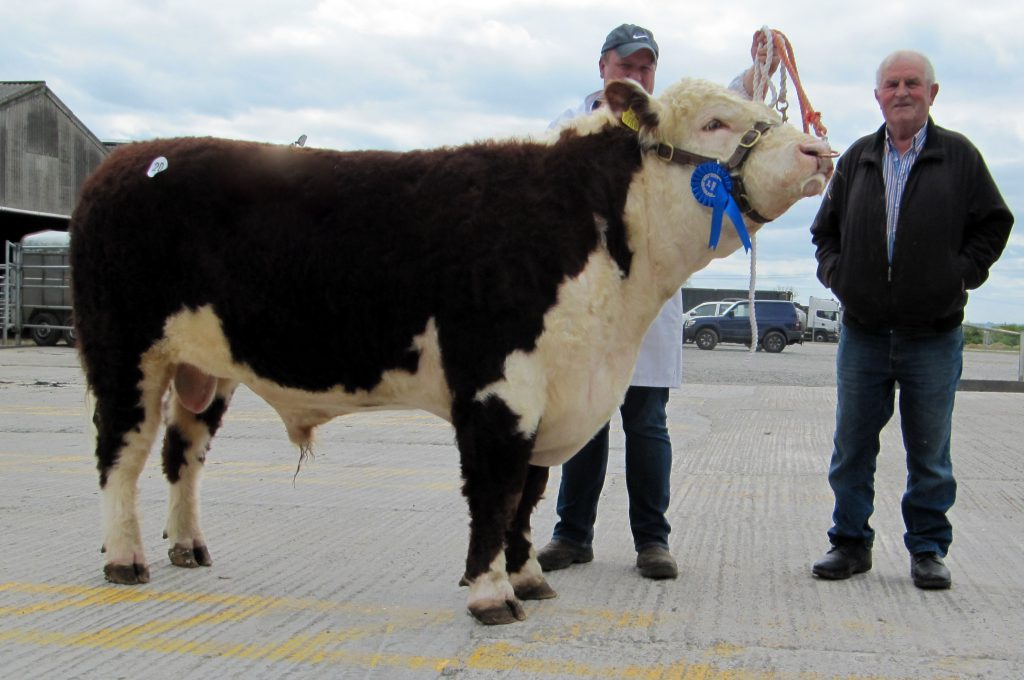 Photos of hereford bulls