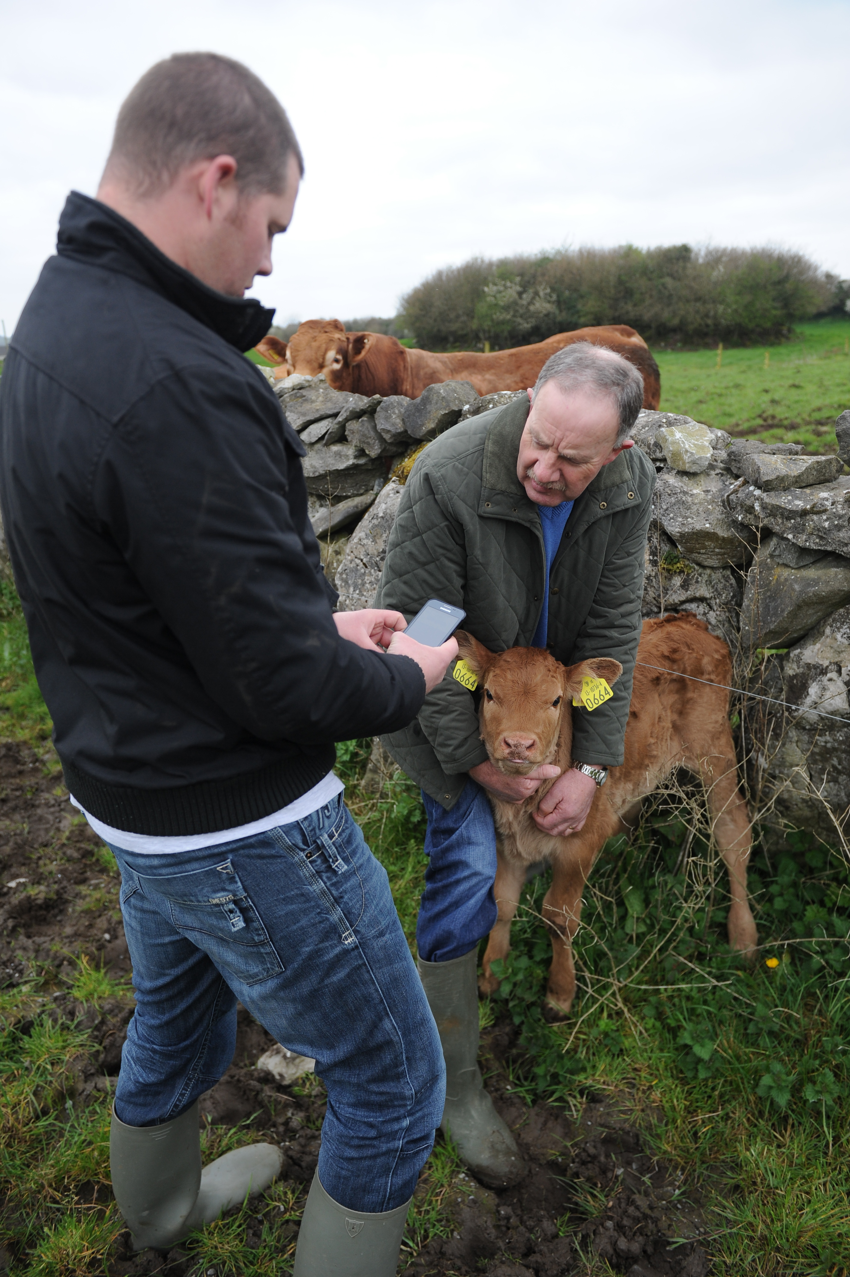 Brian Kelly registering his new calf on Herdwatch with his father Timothy potrait 395