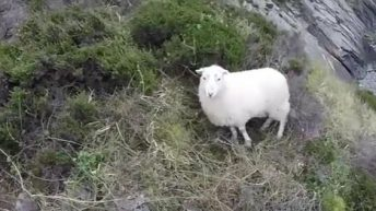 Video: Sheep rescued from cliff face after being chased by dog