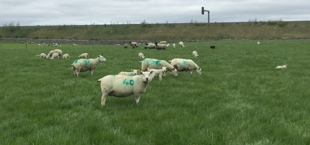 Some of the five star Texel and Suffolk ewes on the farm in Athenry