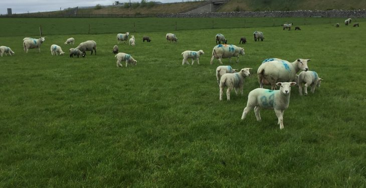 New Zealand flock forges ahead with scanning results
