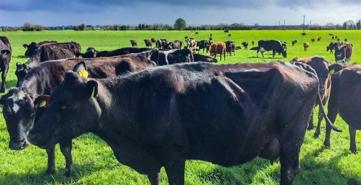 LIC gearing up to breed bulls in Ireland