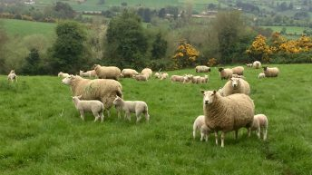 'Processors must reward farmers for producing wether lambs'