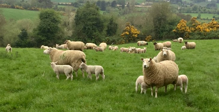 Quotes for spring lambs a 'slap in the face' for farmers – ICSA