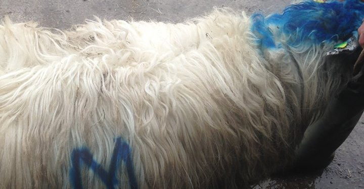 Pics: Farmer condemns 'dirty, low-down' theft of 26 hoggets