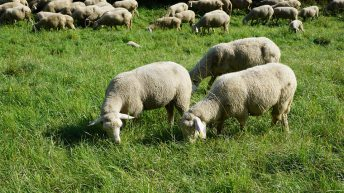 Flexibility called for on reference numbers in Sheep Welfare Scheme