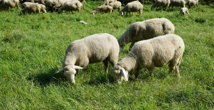 85% of lambs 'can be finished off grass'