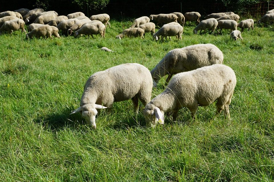 Gardaí investigating suspected theft of over 100 sheep
