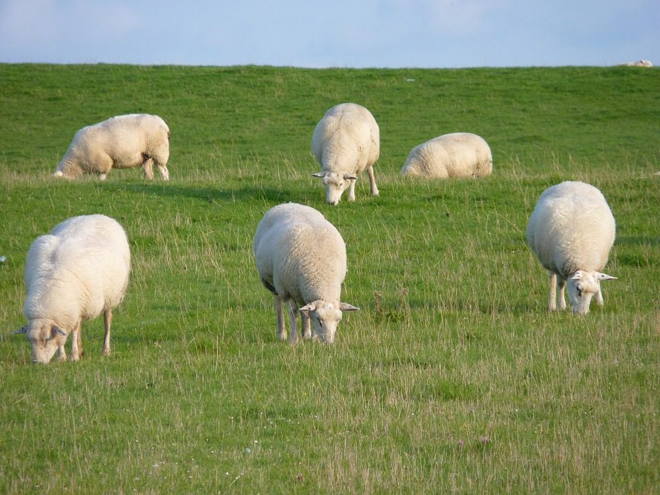 Sheep open day – 'best flocks are utilising most grass'